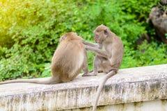 Πίθηκοι & x28 καβούρι που τρώει macaque& x29  καλλωπίζοντας το ένα άλλος Στοκ Εικόνα
