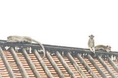 Πίθηκος ή με μακριά ουρά πίθηκος macaque Στοκ Εικόνες