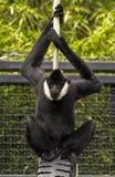 Πίθηκος ακριβώς που κρεμά έξω Στοκ Εικόνες