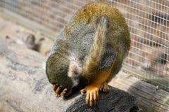 Πίθηκος αραχνών που κάνει ένα λάθος Στοκ Εικόνες