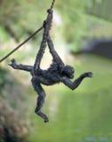 Πίθηκος αραχνών σε ένα σχοινί στοκ φωτογραφία με δικαίωμα ελεύθερης χρήσης