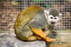 Πίθηκος αραχνών Στοκ Εικόνες