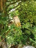 Πίθηκος αραχνών Στοκ φωτογραφίες με δικαίωμα ελεύθερης χρήσης