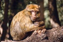 Πίθηκος Βαρβαρίας πορτρέτου macaque σε ένα στέλεχος, Ifrane, Μαρόκο Στοκ Φωτογραφίες