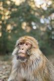 Πίθηκος Βαρβαρίας πορτρέτου macaque Στοκ εικόνα με δικαίωμα ελεύθερης χρήσης