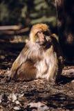 Πίθηκος Βαρβαρίας πορτρέτου macaque, Ifrane, Μαρόκο Στοκ Φωτογραφία
