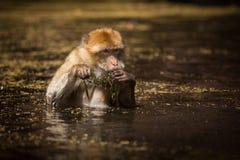 Πίθηκος Βαρβαρίας Στοκ Εικόνες