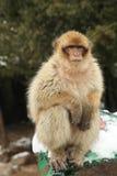 Πίθηκος Βαρβαρίας Στοκ φωτογραφίες με δικαίωμα ελεύθερης χρήσης