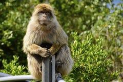 Πίθηκος Βαρβαρίας Στοκ Φωτογραφία