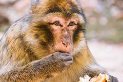 Πίθηκος Βαρβαρίας macaque που τρώει tangerine, Ifrane, Μαρόκο Στοκ Φωτογραφίες