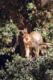 Πίθηκος Βαρβαρίας macaque σε ένα δέντρο, Ifrane, Μαρόκο Στοκ Εικόνες