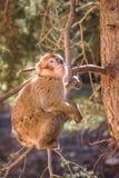 Πίθηκος Βαρβαρίας macaque σε ένα δέντρο, Ifrane, Μαρόκο Στοκ φωτογραφία με δικαίωμα ελεύθερης χρήσης