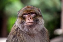 Πίθηκος Βαρβαρίας, sylvanus Macaca Στοκ Εικόνα