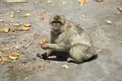 πίθηκος Βαρβαρία Γιβραλ&tau Στοκ Εικόνα