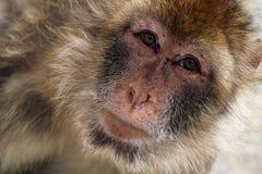 πίθηκος Βαρβαρία Στοκ εικόνες με δικαίωμα ελεύθερης χρήσης