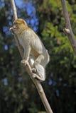 πίθηκος Βαρβαρία Στοκ εικόνα με δικαίωμα ελεύθερης χρήσης