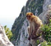 πίθηκος Γιβραλτάρ Στοκ Εικόνες
