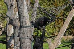 Πίθηκος δύο που αναρριχείται και που έχει στη διασκέδαση στους κλάδους στο ζωολογικό κήπο στη Γερμανία στοκ φωτογραφία με δικαίωμα ελεύθερης χρήσης