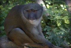 Πίθηκος ελών Άλλεν Στοκ Εικόνες