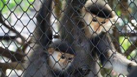 Πίθηκος ζεύγους που κοιτάζει στο κλουβί πλέγματος Στοκ φωτογραφίες με δικαίωμα ελεύθερης χρήσης