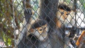 Πίθηκος ζεύγους που κοιτάζει στο κλουβί πλέγματος Στοκ Εικόνες