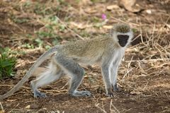 πίθηκος ζώων Στοκ Εικόνα