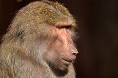 Πίθηκος ηγετών Στοκ φωτογραφίες με δικαίωμα ελεύθερης χρήσης