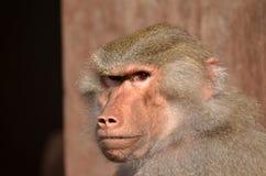 Πίθηκος ηγετών Στοκ Φωτογραφίες