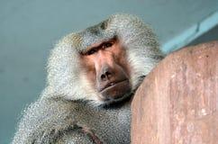 Πίθηκος ηγετών Στοκ εικόνα με δικαίωμα ελεύθερης χρήσης