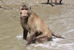 Πίθηκος θάλασσας Στοκ φωτογραφία με δικαίωμα ελεύθερης χρήσης