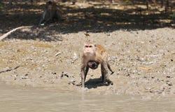 Πίθηκος θάλασσας Στοκ εικόνες με δικαίωμα ελεύθερης χρήσης
