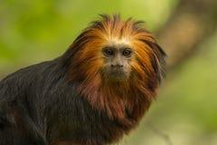 Πίθηκος λιονταριών Στοκ εικόνες με δικαίωμα ελεύθερης χρήσης