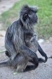 πίθηκος κήπων Στοκ Εικόνες