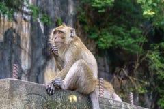 Πίθηκος καβούρι-που τρώει macaque με το πράσινο υπόβαθρο δέντρων Στοκ Φωτογραφίες