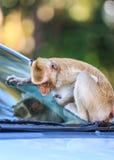Πίθηκος (καβούρι-που τρώει macaque) που αναρριχείται στο αυτοκίνητο Στοκ φωτογραφία με δικαίωμα ελεύθερης χρήσης