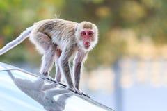 Πίθηκος (καβούρι-που τρώει macaque) που αναρριχείται στο αυτοκίνητο Στοκ εικόνα με δικαίωμα ελεύθερης χρήσης