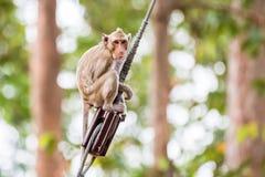 Πίθηκος (καβούρι-που τρώει macaque) που αναρριχείται στο καλώδιο τροφοδοσίας Στοκ Φωτογραφίες