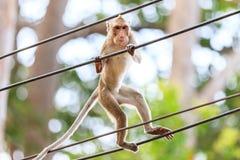 Πίθηκος (καβούρι-που τρώει macaque) που αναρριχείται στο καλώδιο τροφοδοσίας Στοκ εικόνα με δικαίωμα ελεύθερης χρήσης