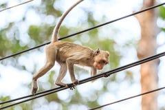 Πίθηκος (καβούρι-που τρώει macaque) που αναρριχείται στο καλώδιο τροφοδοσίας Στοκ Εικόνα