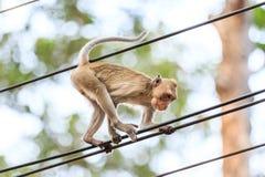 Πίθηκος (καβούρι-που τρώει macaque) που αναρριχείται στο καλώδιο τροφοδοσίας Στοκ εικόνες με δικαίωμα ελεύθερης χρήσης