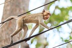 Πίθηκος (καβούρι-που τρώει macaque) που αναρριχείται στο καλώδιο τροφοδοσίας Στοκ Φωτογραφία