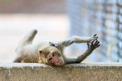 Πίθηκος (καβούρι-που τρώει macaque) που βρίσκεται στο πάτωμα Στοκ φωτογραφίες με δικαίωμα ελεύθερης χρήσης