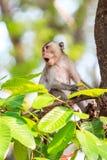 Πίθηκος (καβούρι-που τρώει macaque) που κραυγάζει στο δέντρο Στοκ Φωτογραφία