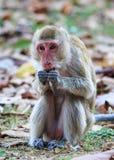 Πίθηκος (καβούρι-που τρώει macaque) που τρώει τα τρόφιμα Στοκ φωτογραφίες με δικαίωμα ελεύθερης χρήσης