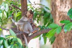 Πίθηκος (καβούρι-που τρώει macaque) που τρώει τα φρούτα στο δέντρο Στοκ φωτογραφία με δικαίωμα ελεύθερης χρήσης
