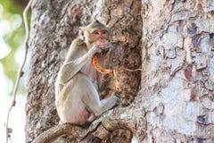 Πίθηκος (καβούρι-που τρώει macaque) που τρώει τα φρούτα στο δέντρο Στοκ Εικόνες