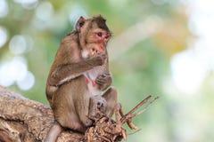 Πίθηκος (καβούρι-που τρώει macaque) που τρώει τα φρούτα στο δέντρο Στοκ εικόνες με δικαίωμα ελεύθερης χρήσης