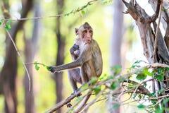 Πίθηκος (καβούρι-που τρώει macaque) που τρώει τα φύλλα στο δέντρο Στοκ φωτογραφίες με δικαίωμα ελεύθερης χρήσης