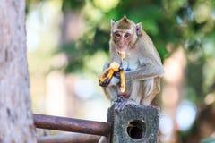 Πίθηκος (καβούρι-που τρώει macaque) που τρώει την μπανάνα Στοκ Εικόνες