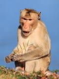 Πίθηκος (καβούρι-που τρώει macaque) που τρώει το δενδρύλλιο των εγκαταστάσεων Στοκ φωτογραφίες με δικαίωμα ελεύθερης χρήσης